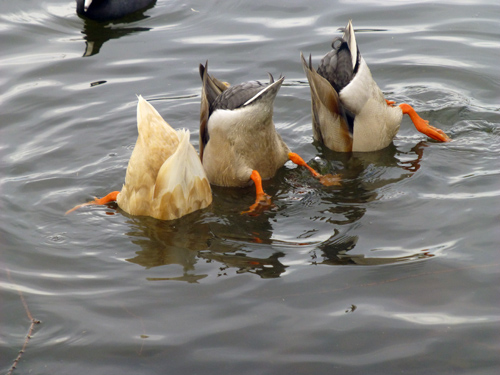 Ducks fishing
