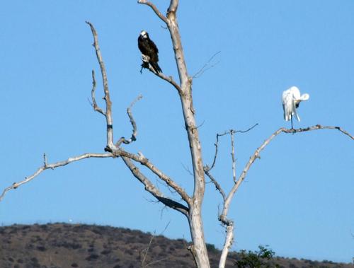 osprey-egret 2