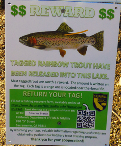 rainbow trout tagging